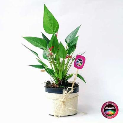 Comprar anturio mini rojo Anthurium andreanum matera plástica yute 10 cm lateral Bogotá Neea Flora