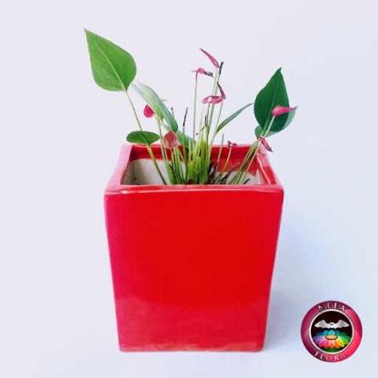 Anturio mini rojo Anthurium andreanum 10cm matera cerámica cubo Eliza roja frontal