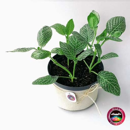 Planta fitonia Fittonia verschaffeltiialbivenis 14cm de diámetro. Viene en una matera plástica cubierta con yute artesanal. Compra a domicilio en Bogotá. Vivero Neea Flora.