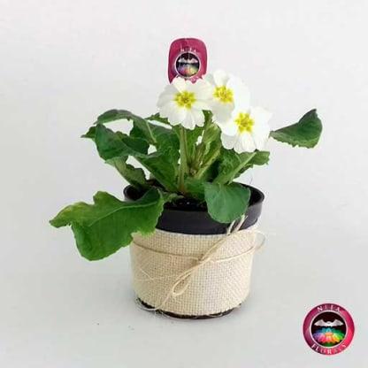 Planta primavera Primula obconica flor blanca 10cm matera plástica yute lateral Neea Flora