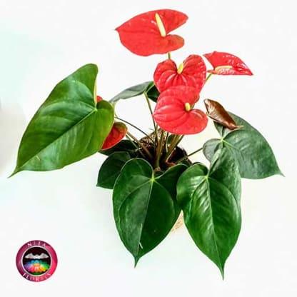 Anturio rojo Anthurium 14cm matera plásticayute superior Neea Flora