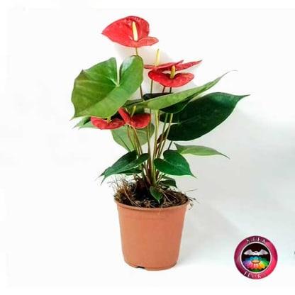 Planta anturio Anthurium andreanum matera plástica Neea Flora