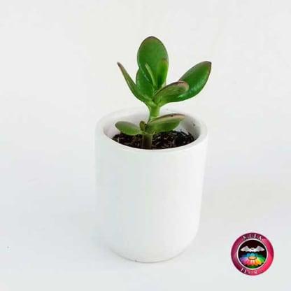 Recordatorio suculenta matera cerámica resinada cilindro blanco Neea Flora