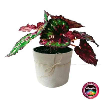 Begonia rex P-10 Planta de Interior lateral Neea Flora