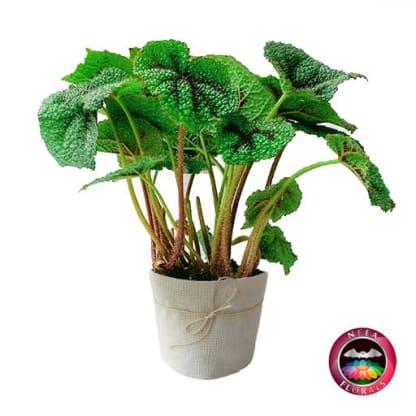 Begonia Cruz de Hierro Begonia masoniana P-10 Planta de Interior lateral Neea Flora
