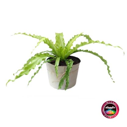 Plantas de Interior Helecho Nido de Ave Crespo Asplenium nidus Neea Flora