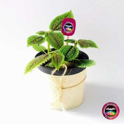 Planta de la amistad Pilea involucrata 12cm de diámetro. Viene en una matera plástica cubierta con yute artesanal. Compra a domicilio en Bogotá. Vivero Neea Flora.