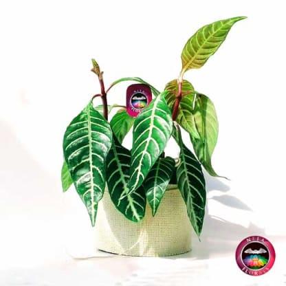 Planta afelandra angosta Aphelandra squarrosa14cm de diámetro. Viene en una maceta plástica con yute artesanal. Venta a domicilio en Bogotá. Vivero Neea Flora.