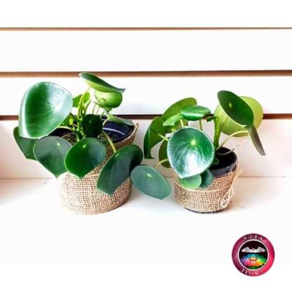 Planta CucharaPilea peperomioidea 10cm 14cm matera plástica yute.