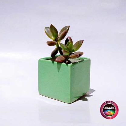Suculenta matera cuadrada verde cerámica esmaltada Neea Flora