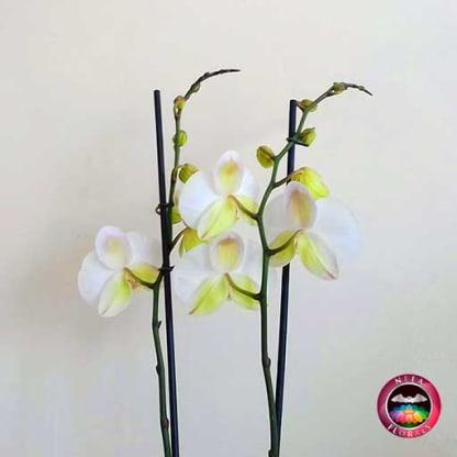 Orquidea mariposa Phalaenopsis dos varas blanca matera plástica zoom atrás Neea Flora