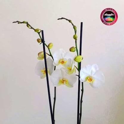 Orquidea mariposa Phalaenopsis dos varas blanca matera plástica zoom Neea Flora