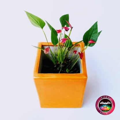 Anturio mini rojo Anthurium andreanum 10cm matera cerámica cubo Eliza naranja frontal