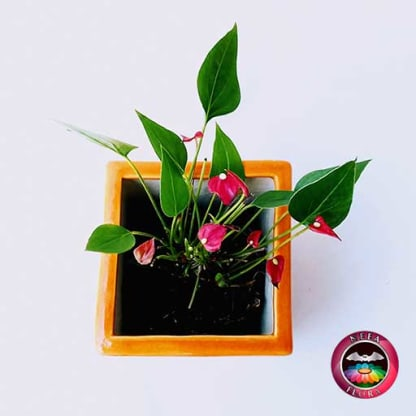 Anturio mini rojo Anthurium andreanum 10cm matera cerámica cubo Eliza naranja superior