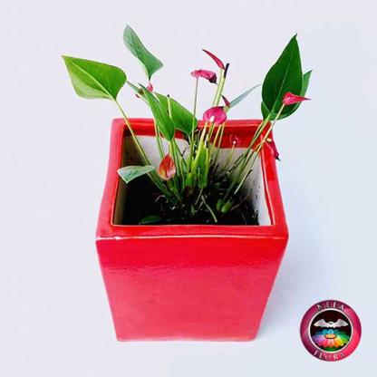 Anturio mini rojo Anthurium andreanum 10cm matera cerámica cubo Eliza roja diagsup