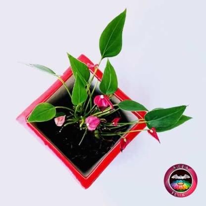 Anturio mini rojo Anthurium andreanum 10cm matera cerámica cubo Eliza roja superior