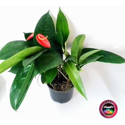 Planta Anturio helicoidal Anthurium 14cm matera plástica diagonal Neea Flora