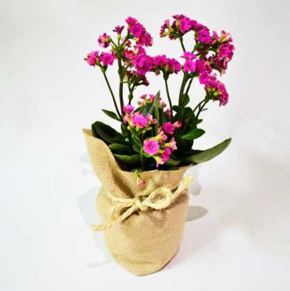 Planta con flor Kalanchoe bolsa yute cabuya