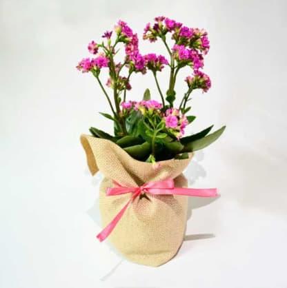 Planta con flor Kalanchoe bolsa yute cinta colores