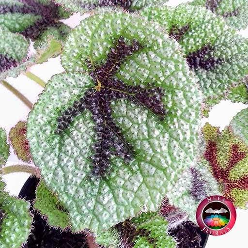 Begonia Cruz de Hierro Begonia masoniana zoom hojas Planta de Interior lateral Neea Flora