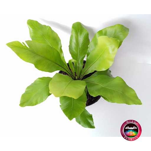 Helecho nido de ave liso. (Asplenium nidus) un ejemplo de una planta que puede sobrevivir en condiciones de poca luz.