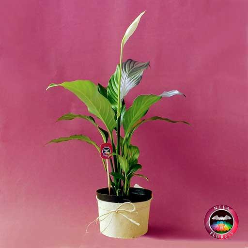 Comprar planta spatifilo espatifilo Spatiphyllum 14cm matera plástica yute a domicilio en Bogotá Neea Flora.