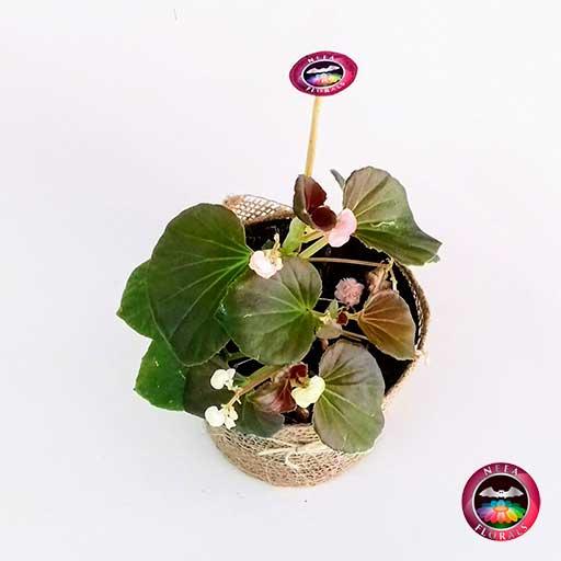 Planta Pichón doble Begonia 12cm maceta plástica yute superior Neea Flora