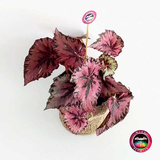 Begonia rex roja maceta plástica yute 14cm superior Neea Flora
