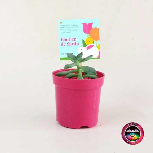 Suculentas recordatorios matera plástica 5cm colores fucsia con tarjeta Neea Flora