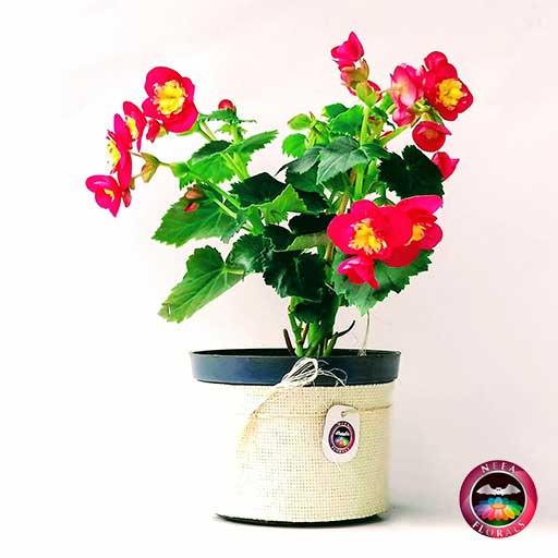 Comprar Begonia elatior Begonia de flor Begonia híbrida Begonia x hiemalis matera plástica yute 14 cm lateral Neea Flora