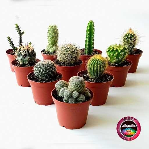 Cactus variados matera plástica 7cm frontal Neea Flora