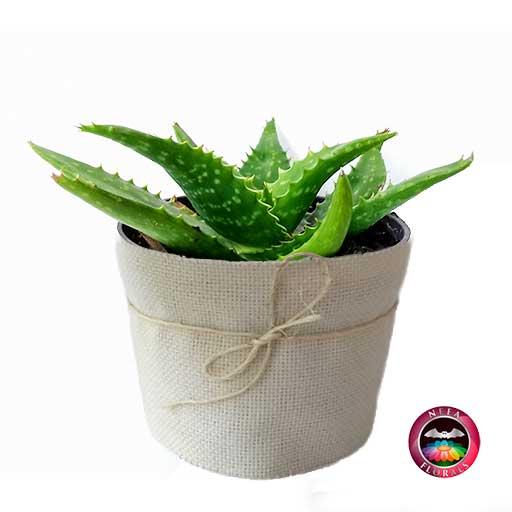 Sávila Aloe vera en maceta plástica 14 cm cubierta con yute artesanal Neea Flora