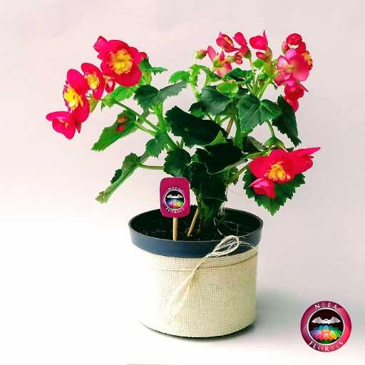 Comprar Begonia elatior Begonia de flor Begonia híbrida Begonia x hiemalis matera plástica yute 14 cm frontal Neea Flora