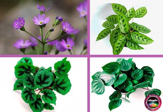 Ejemplos de plantas de semi sombra o luz indirecta petunia calathea begonia masoniana y Peperomia Neea Flora