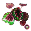 Begonia rex P-10 Planta de Interior superior Neea Flora
