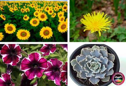 Ejemplos de plantas de sol o luz directa girasol diente de león petunia y suculenta echeverria Neea Flora