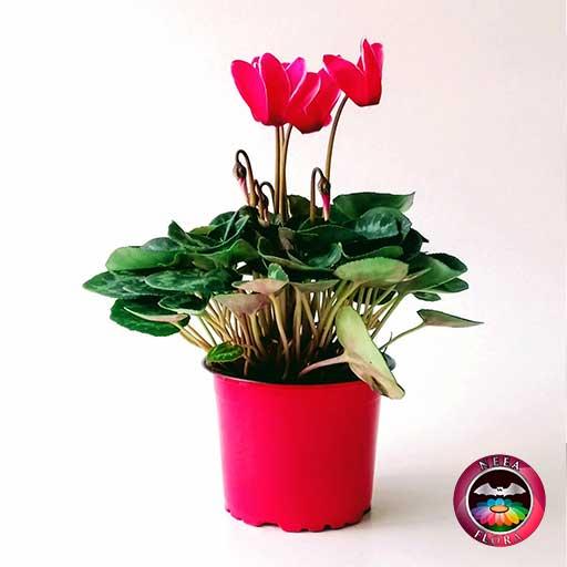 Violeta de los alpes Cyclamen persicum 9cm matera plástica flor roja lateral Neea Flora