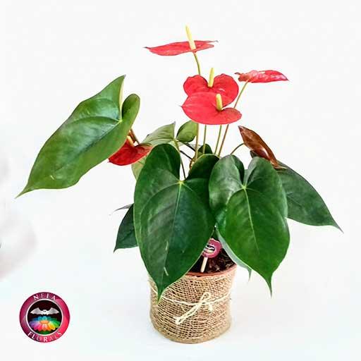 Anturio rojo Anthurium 14cm maceta plásticayute diagonal Neea Flora