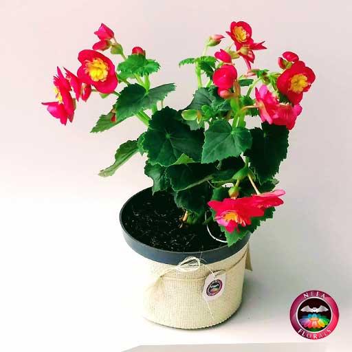 Comprar Begonia elatior Begonia de flor Begonia híbrida Begonia x hiemalis maceta plástica yute 14 cm diagonal Neea Flora