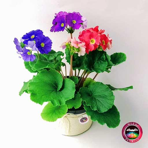 Comprar planta primavera trio prímula victoria roja rosa púrpura morada Primula obconica maceta plástica yute 14 cm diagonal Neea Flora