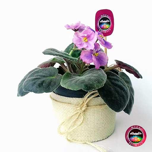 Comprar planta violeta africana Saintpaulia flora ros púrpura matera plástica yute 10 cm frontal Bogotá Neea Flora