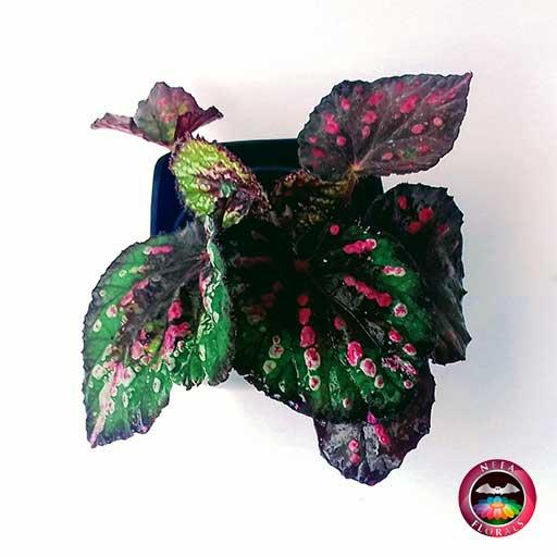 Begonia rex en matera plástica cuadrada lisa negra superior Neea Flora