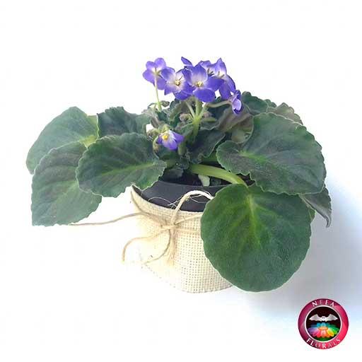 Comprar planta violeta africana Saintpaulia flora morada púrpura matera plástica yute 10 cm diagonal Bogotá Neea Flora
