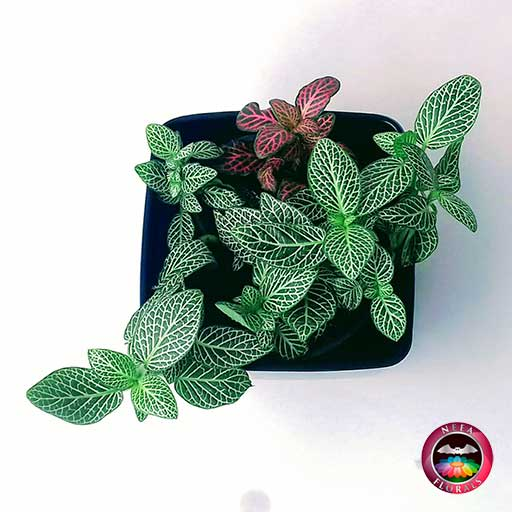 Planta abrecaminos Fittonia albivenis en matera plástica cuadrada lisa negra superior Neea Flora