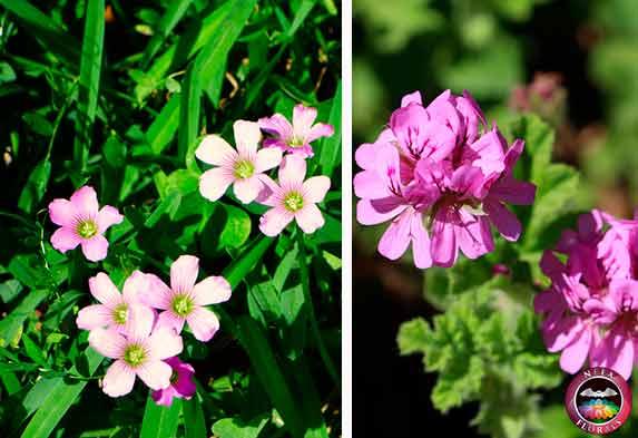 Plantas que necesitan mucha energía mucha luz oxalis pelargonium Neea Flora