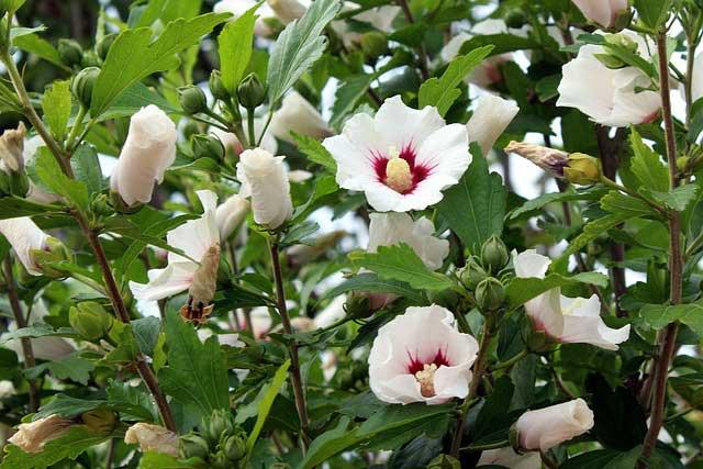 El hibisco (Hibiscus spp) es un ejemplo de planta perenne