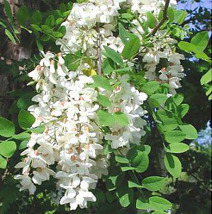 akácvirág | Mézek - BERTALAN MÉZ | Nektár a kaptárban - élet a mézben!