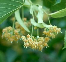 hársvirág | Mézek - BERTALAN MÉZ | Nektár a kaptárban - élet a mézben!