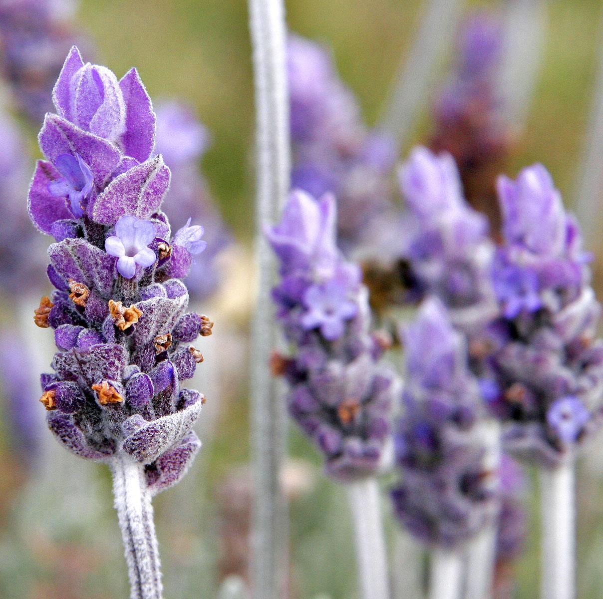 levendulavirág | Mézek - BERTALAN MÉZ | Nektár a kaptárban - élet a mézben!