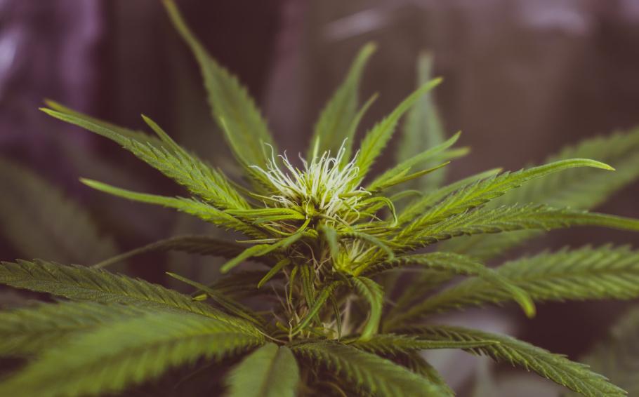 Reclassement du cannabis : vue d'ensemble